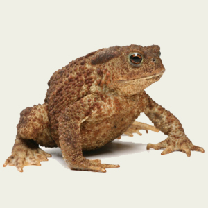 frog vs toad Is it a native frog or cane toad kimberley toad busters' definitive table (thank you to frog expert mike tyler for his helpful comments) email: fieldcoordinator@canetoadscomau.